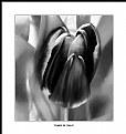 Picture Title - Tones of Tulip