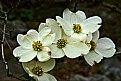 Picture Title -  dogwood pack