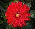 Picture Title - Red Dahlia