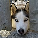 Picture Title - My Husky