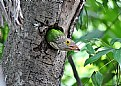 Picture Title - Lineated barbet