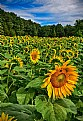 Picture Title - Sunflowers