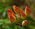 Picture Title - flame buds