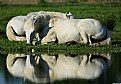 Picture Title - White horses at the mirror