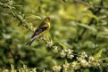 Picture Title - Female Goldfinch