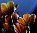 Picture Title - Tulips 2