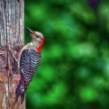 Picture Title - Woodrow the woodpecker