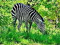 Picture Title - Chubby Zebra