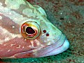 Picture Title - epinephelus marginatus