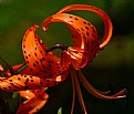 Picture Title - tiger lily 2