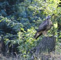 Picture Title - Young Buzzard