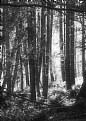 Picture Title - Sunlit Forest