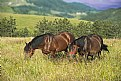 Picture Title - Horses grazing
