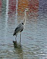 Picture Title - the blue heron