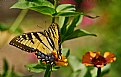 Picture Title - swallowtail and zinnias.