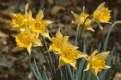 Picture Title - Daffodils