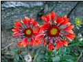 Picture Title - two red flowers