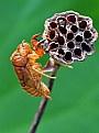 Picture Title - cicada's