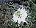 Picture Title - Love in a Mist