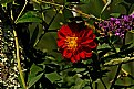Picture Title - red dahlia and butterfly bush.