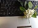 Picture Title - Digital Gardenia