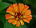 Picture Title - fall zinnia