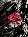 Picture Title - cluster amaryllis