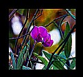 Picture Title - The last Sweet pea