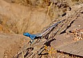Picture Title - The blue Lizard..