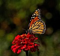 Picture Title -  Monarch and throne