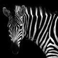 Picture Title - The Dark Side of Animals - Zebra