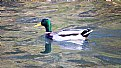 Picture Title - Wood Duck
