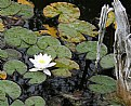 Picture Title - Pond Lily