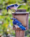 Picture Title - Two Blue Jays