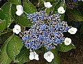 Picture Title - Lace Cap Hydrangea