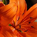 Picture Title - Orange Lilium