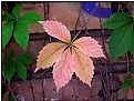 Picture Title - pale-red leaf