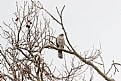 "Picture Title - ""Cooper's Hawk"""