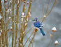 Picture Title - Blue Jay winter 2017