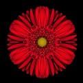 Picture Title - Scarlet Red Kaleido Gerber