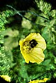 Picture Title - Yellow Poppy