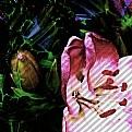 Picture Title - Red Lilium