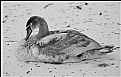 Picture Title - ugly duckling