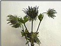 Picture Title - valentine thistles