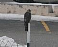 Picture Title - Hawk