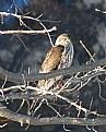 Picture Title - Sharp Shinned Hawk