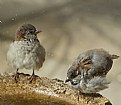 Picture Title - Sparrows