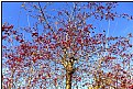 Picture Title - redberrietree