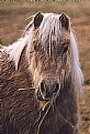 Picture Title - Shaggy Pony