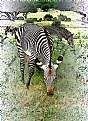 Picture Title - Zebras 4